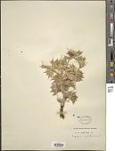view Eryngium maritimum L. digital asset number 1
