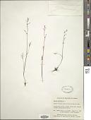 view Cicuta bulbifera L. digital asset number 1