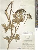 view Conioselinum pacificum (S. Watson) J.M. Coult. & Rose digital asset number 1