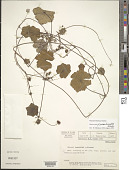 view Hydrocotyle grossulariifolia Rusby digital asset number 1