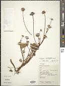 view Trachymene saniculaefolia Stapf digital asset number 1