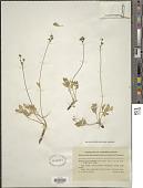 view Hesperogenia stricklandii J.M. Coult. & Rose digital asset number 1