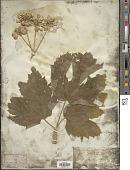 view Heracleum lanatum Michx. digital asset number 1