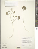 view Hydrocotyle bowlesioides Mathias & Constance digital asset number 1