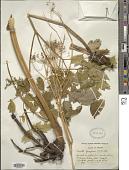 view Cicuta occidentalis Greene digital asset number 1