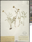 view Pseudocymopterus montanus (A. Gray) J.M. Coult. & Rose digital asset number 1