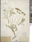 view Lomatium nevadense (S. Watson) J.M. Coult. & Rose digital asset number 1