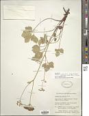 view Ligusticum scoticum subsp. hultenii (Fernald) Calder & Roy L. Taylor digital asset number 1