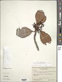 view Cybianthus fulvopulverulentus (Mez) G. Agostini subsp. fulvopulverulentus digital asset number 1