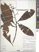 view Parathesis sessilifolia Donn. Sm. digital asset number 1