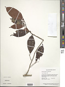 view Ardisia guianensis (Aubl.) Mez digital asset number 1