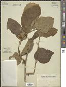 view Alangium begoniifolium (Roxb.) Baill. digital asset number 1
