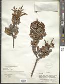 view Clethra fimbriata Kunth digital asset number 1