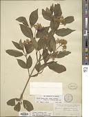 view Cornus racemosa Lam. digital asset number 1