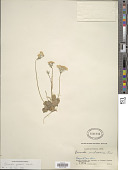 view Primula forbesii Franch. digital asset number 1