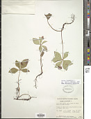 view Cornus canadensis L. digital asset number 1