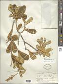 view Jacquinia arborea Vahl digital asset number 1