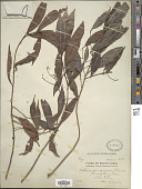 view Ardisia quinquegona Blume digital asset number 1