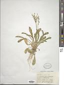 view Primula specuicola Rydb. digital asset number 1