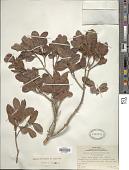 view Rapanea myricifolia (A. Gray) Mez digital asset number 1