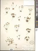 view Androsace occidentalis (Pursh) Pursh digital asset number 1