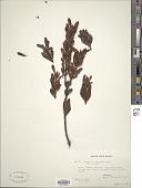 view Rapanea dasyphylla (Stapf) Mez digital asset number 1