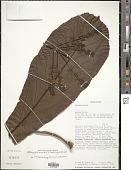 view Melanophylla modestei G.E. Schatz et al. digital asset number 1