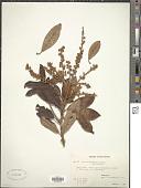 view Clethra pachyphylla Merr. digital asset number 1