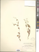 view Samolus parviflorus Raf. digital asset number 1