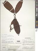 view Cybianthus guyanensis (A. DC.) Miq. subsp. guyanensis digital asset number 1