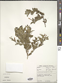 view Jasminum breviflorum Harv. digital asset number 1