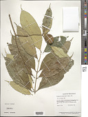 view Bonafousia undulata (Vahl) A. DC. digital asset number 1