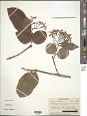 view Holarrhena pubescens (Buch.-Ham.) Wall. ex G. Don digital asset number 1