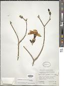 view Stemmadenia obovata (Hook. & Arn.) K. Schum. digital asset number 1