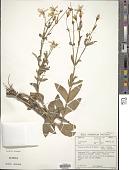 view Chironia palustris Burch. digital asset number 1