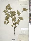 view Symplocos salicifolia Griseb. digital asset number 1