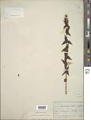view Lysimachia asperulifolia Poir. digital asset number 1