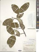 view Aspidosperma pyrifolium Mart. digital asset number 1