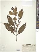 view Linociera ramiflora (Roxb.) Wall. digital asset number 1