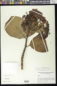 view Hydrangea macrophylla (Thunb.) Ser. digital asset number 1
