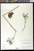 view Stigmaphyllon bogotense Triana & Planch. digital asset number 1