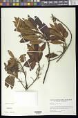 view Morella pubescens (Humb. & Bonpl. ex Willd.) Wilbur digital asset number 1