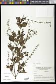view Salvia tiliifolia Vahl digital asset number 1
