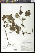 view Salvia palifolia Kunth digital asset number 1