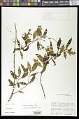 view Besleria pendula Hanst. digital asset number 1
