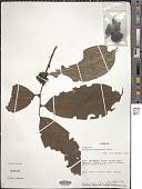 view Diospyros bipindensis Gürke digital asset number 1