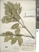 view Symplocos cochinchinensis subsp. leptophylla var. leptophylla digital asset number 1