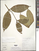view Tabernaemontana undulata Vahl digital asset number 1