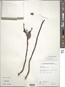 view Myrsine sandwicensis A. DC. digital asset number 1