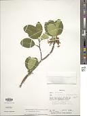 view Tabernaemontana persicariifolia Jacq. digital asset number 1